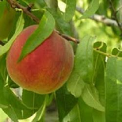Pontotoc County family operates a fruit orchard